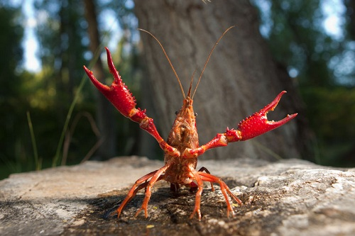 Red swamp crayfish, an invasive species of freshwater crayfish